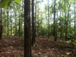 Teak Farm for Sale - Tulin